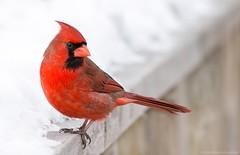 red on white (martinaschneider) Tags: winter cambridge snow ontario bird cardinal