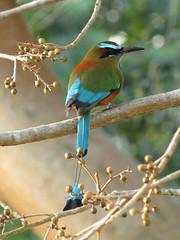 Turquoise-browed Motmot (treegrow) Tags: bird nature mexico yucatan aves uxmal lifeonearth turquoisebrowedmotmot eumomotasuperciliosa momotidae taxonomy:binomial=eumomotasuperciliosa canonpowershotsx40hs