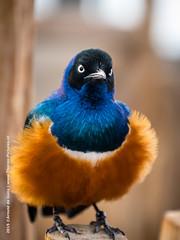 Blijdorp Zoo, Rotterdam 2015-02-22 (11) (Thoran Pictures (Thx for more then 3.5 million vie) Tags: blue orange bird netherlands zoo rotterdam blauw nederland dieren vogel oranje k3 dierentuin blijdorpzoo pentaxda50135mm28 madebythoranpictures theuseofanyoftheimagesinthissetwithoutpriorwrittenpermissionisprohibitedwiththeexceptionofpersonalusebytheindividualsportrayedtherein