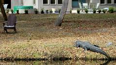 """A hot tub...SWEET!"" (Shannon Rose O'Shea) Tags: nature gator wildlife alligator southcarolina hiltonheadisland canoneos7d shipyardplantation shannonroseoshea"