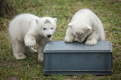 2015-02-26-11h32m20.BL7R3951 (A.J. Haverkamp) Tags: zoo thenetherlands polarbear ijsbeer rhenen dierentuin ouwehandsdierenparkrhenen httpwwwouwehandnl canonef100400mmf4556lisusmlens pobrhenenthenetherlands dob22112014