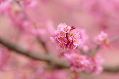 ILCE-6000_2015059_DSC03643 (Sicong (OFF for a while)) Tags: pink flower dof bokeh sony a6000 sal135f18za