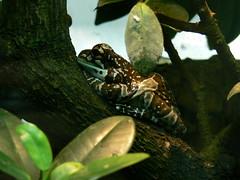 Baumhöhlen-Krötenlaubfrosch (Trachycephalus resinifictrix) P1640439 (martinfritzlar) Tags: zoo frankfurt tiere amphibien frösche krötenlaubfrosch trachycephalus tier amphibie frosch laubfrosch baumhöhlenkrötenlaubfrosch hylidae trachycephalusresinifictrix amphibian frog treefrog missiongoldeneyedtreefrog amazonmilkfrog