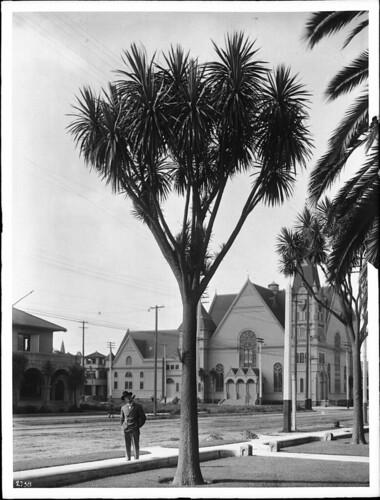 Palm trees near Emanuel Presbyterian Church on Figueroa Street, ca.1900-1905 (CHS-2738)