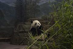 Fuzzy Panda (Beau Finley) Tags: bear washingtondc dc districtofcolumbia panda bamboo nationalzoo woodleypark beaufinley fuzzypanda fuzzypandarecordingcompany