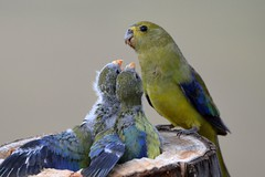 Blue-winged Parrot_6737E (Neil H Mansfield) Tags: bird nature parrot australia victoria chicks neophemachrysostoma bluewingedparrot nikond80e