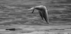 il volo b/w (Pioppo67) Tags: sea white black canon fly mare sigma 105 gabbiano 60d