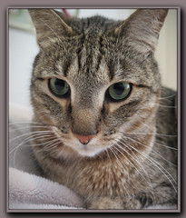 Is this a Selfie? (gtncats) Tags: pet cat canon eyes feline sweet tabby loved selfie g16 felineface photographyforrecreation canong16 canonpowershotg16 infinitexposure