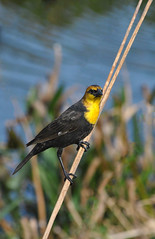 Yellow-headed Blackbird (concep1941) Tags: birds nikon wildlife freshwatermarshes xanthocephalusxanthoce