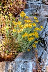 yellow desert daisy Erigeron (Wayne~Chadwick) Tags: river columbia gorge