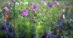Wild Flowers (wentloog) Tags: uk flowers wild plants field wales canon eos britain cymru cardiff caerdydd 5d cardiffbay wentloog stevegarrington