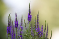 Early in the Morn ll.. (zoomclic) Tags: canon closeup colorful flower foliage fog portrait green dof dreamy salvia purple plant nature summer bokeh morning garden zoomclicphotography