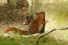 Visiteur du soir (franfran37) Tags: nature mur bois cureuil
