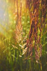 Catching sunlight (Petr Horak) Tags: landscape nature farmland summer grass meadowplant arboriculture novknn stedoeskkraj czechrepublic cze