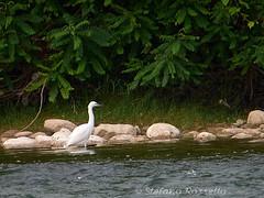 _S817499789 (Rosshox) Tags: naturalphotography natura wildlife action animals animali fujifilm fujifilmxs1 volatili