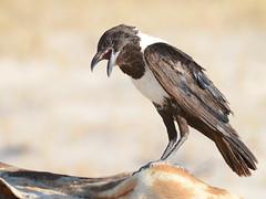 Gralha-seminarista // Pied Crow (http://jvverde.birdsby.me/v2/) Tags: piedcrow gralhaseminarista corvusalbus lintu  madr
