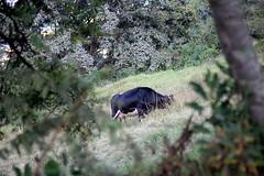 COW (WacsiM) Tags: pasto nario colombia colombie voyage vacances holidays trip discover dcouverte dcouvre photo wacsim canon eos 550d 50mm flou blur bokeh
