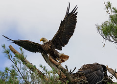 Saying Goodbye (20160718-144000-PJG) (DrgnMastr) Tags: bravo fb cropped eagles baldeagles eaglets coth littlestories specanimal brilliantnature avianexcellence sacrednature naturesspirit picswithsoul damniwishidtakenthat coth5 naturescarousel dmslair sunshinegroup grouptags allrightsreserveddrgnmastrpjg pjgergelyallrightsreserved ia78