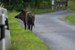 an encounter on the way (w-venne) Tags: way mammal weg wildschwein wildboar männlich keiler säugetier ♂ verl susscrofa