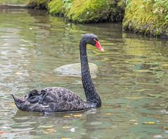 Black Swan (d.gale052) Tags: bird barrie blackswan 2015 barriezoo
