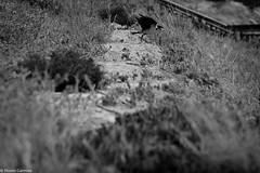 The Big Jump (EagleXDV) Tags: israel netanya animal bird crow jump takeoff grass nature bw blackandwhite plants