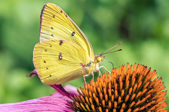 Sulphur Butterfly (flying cats (AKA Penny Carlson)) Tags: butterfly nj newjersey hunterdon flower insect bug sony a7rii macro sulphur clouded orange