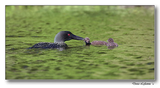 1E1A3976-DL  -  Plongeon huard / Common Loon.