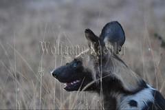 10075521 (wolfgangkaehler) Tags: africa portrait closeup nationalpark african wildlife predator zambia africanwilddog southernafrica predatory 2016 africanhuntingdog zambian southluangwanationalpark africanwilddoglycaonpictus