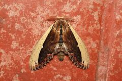 Lirimiris gigantea - Costa Rica. (Nick Dean1) Tags: notodontiidae notodontiinae lirimirisgigantea lepidoptera moth animalia arthropoda arthropod hexapoda hexapod insect insecta costarica lakearenal