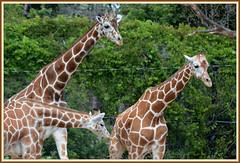 [[[ The Family Giraffe ]]] (Wolverine09J ~ 1 Million + Views) Tags: comozsum16 giraffefamily fauna zoowildlife minnesota summer nature heartawards