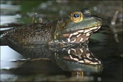 Under the Bridge (muledriver) Tags: frogs bullfrogs nature amphibians