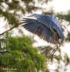 GREAT BLUE HERON (Bozo1945) Tags: heron great blue
