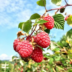Raspberries (Esan Semi) Tags: raspberry skui norway lovely day fruit picking weekend red delicious plant