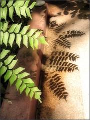 (Tlgyesi Kata) Tags: fern pfrny botanikuskert botanicalgarden fvszkert budapest withcanonpowershota620 summer greenhouse veghz plmahz shadow