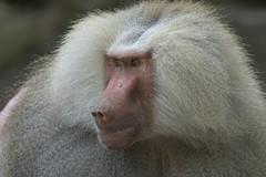 Mantelbaviaan - Emmen (Jan de Neijs Photography) Tags: emmen dierentuin zoo dierenpark dierenparkemmen baviaan mantelbaviaan aap tamron tamron150600 babbon baboon