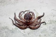 Octopus (dsotg) Tags: octopus holbox quintana roo mexico quintanaroo isla island holboxisland islaholbox caribbean caribe sea beach