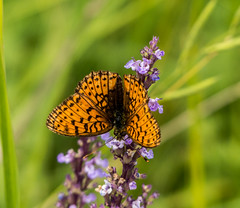 Dark-Green Fritillary butterfly (DigPeter) Tags: bulgaria butterfliesfritillaries butterflymoth darkgreenfritillary europe peterphoto dobrostan plovdiv