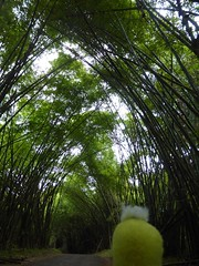 Swami in the bamboo forest (ashabot) Tags: costarica swami bamboo caribbean green yellow jungle travel travelingcompanion travelcompanion tunnel