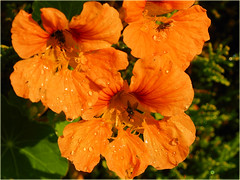 In each flower lives a fly :-) (Ostseeleuchte) Tags: flower blte kapuzinerkresse tropaeolum krasseslktet  koristekrassit fliegen fliege fly insect insekten ostseeleuchte 2016
