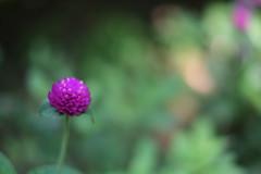 Soft... (Minami45) Tags: xpro1 fujifilm globeamaranth purple japan tokyo      soft
