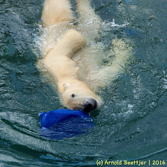 ijsberen_19 (Arnold Beettjer) Tags: wildlands emmen dierenpark dierentuin dierenparkemmen ijsbeer ijsberen polarbear