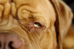 Busted! (Martin Werge Nissen) Tags: 57 canon50mm18 dog doguedebordeaux flash maximus offcamera
