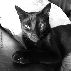 Black Cat (emanuellelena) Tags: gato preto jama black cat blackandwhite bw pretoebranco pb retrato portrait emanuelleelena manaus amazonas brasil brazil