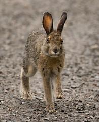Snowshoe Hare - another view (alicecahill) Tags: alaska usa wild wildlife alicecahill mammal nationalpark hare ak denalinationalpark denali snowshoehare rabbit animal