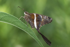 white striped longtail (explored 8/20/2016) (robert salinas) Tags: austin texas unitedstates