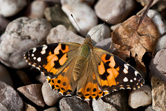 Painted Lady (swansbill) Tags: lepidoptera paintedlady