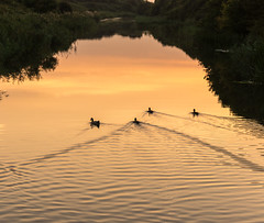 Serenity at sunset (gilliesavo. Catching up :)) Tags: royalmilitarycanal kent hythe sunset reflections serenity mood canal outdoors sunsetting ripples atmosphere nature ducks silhouettes