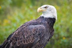 Bald Eagle Profile (jeff_a_goldberg) Tags: americanbaldeagle baldeagle nature outofchicago wisconsin milwaukee schlitzaudubonnaturecenter raptor eagle fall bayside unitedstates us