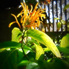 Trapping the energy of the sun for our pleasure (Dom Guillochon) Tags: fleurs tropical botanical chlorophyll photosynthesis time life cultivation nature people humans sunlight leaves feuilles trapping energy sun existence reality dream