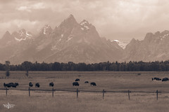 Home is where the Buffalo Rome 2 (Marisa Sanders Photography) Tags: tetons grandtetons thegrandtetons nps np gtnp grandtetonnationalpark canon canon7d explore outdoors outside gtfoutside gtfoutdoors landscape photography buffalo bison wildlife sepia